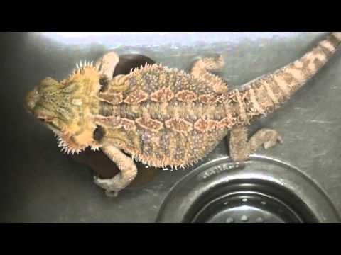 Bearded Dragon Pooping & Farting Stinky Very Stinky!!!