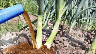 Лук поражает своими размерами и лежкостью после этой подкорки в июне! Чем подкормить лук в июне?