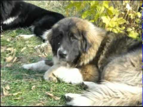 El perro pastor búlgaro