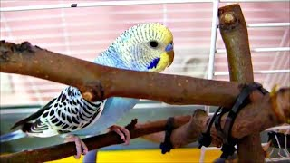 Первый раз выпускаем попугая из клетки после покупки /первый полет / Волнистый попугайчик Сема