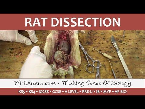 Rat Dissection - GCSE/A Level Biology