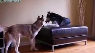 Разговор по собачьи