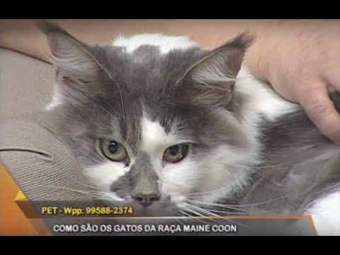 Espaço Pet: Maine Coon, conheça raça de gatos gigantes