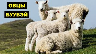 Разведение овец породы Буубэй как бизнес идея   Овцеводство   Овцы буубэй