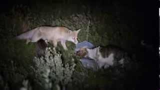 Коты против стайки лисиц !