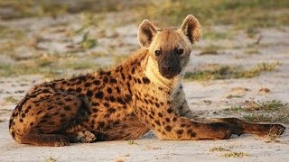 ¿Qué significa soñar con hienas? - Sueño Significado