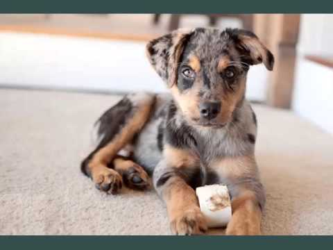 Australian Shepherd Mix Puppies Set Of Dogs Dog Breed Picture Ideas