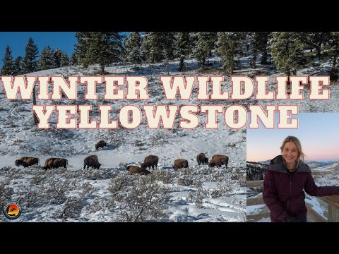 Winter in Yellowstone National Park TRAVEL GUIDE to WOLVES & Wildlife