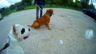 Dogue Argentin Vs Dogue De Bordeaux / Sociabiliser 2 Molosses
