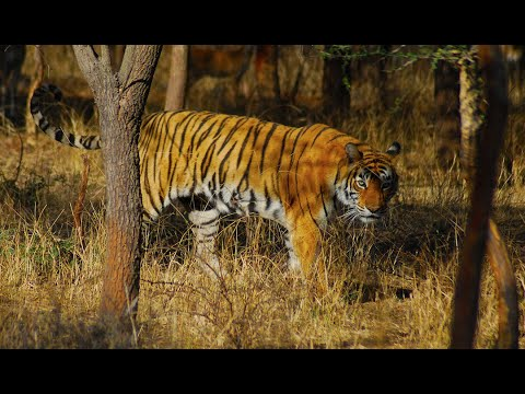 Incredible Tiger Encounters In Nepal On Elephant Back