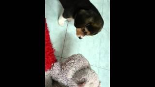 Beagle Playing With Doll (tooth ) บีเกิลกัดตุ๊กตาอย่างน่ารัก