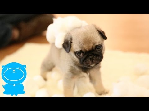 Precious Pug Puppy In Fluffy Cotton Ball Snow Land!