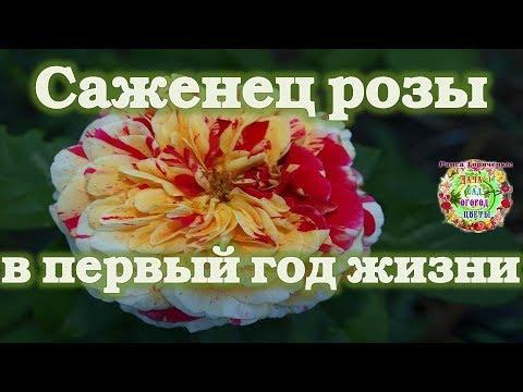 Саженец розы в первый год жизни