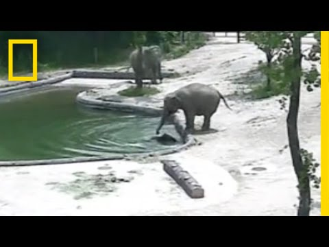 Elephants Rescue Their Baby From a Pool