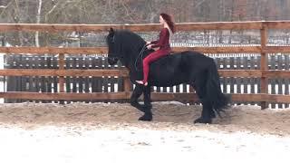 Продада фризских воспитанных лошадей
