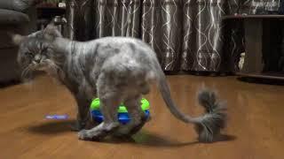 Мейн-кун грає з іграшкою 6+