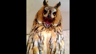 Все звуки Ушастой совы Кёрби
