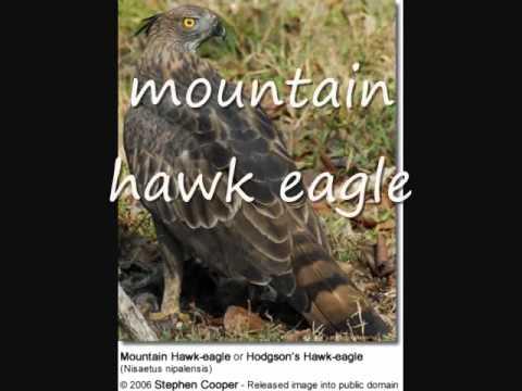 List of Eagle species