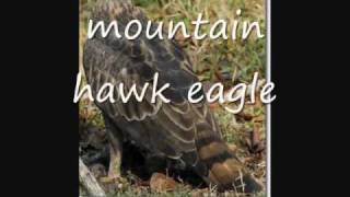 List of Eagle species