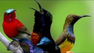 Download Mp3 Masteran Kolibri Paling Dicari Super Jernih