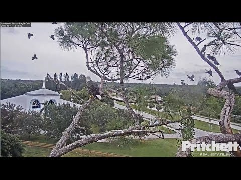 2017/10/17 12h49m SWFL Eagles~A flock Starlings occupy the nest~