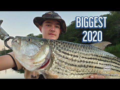 Biggest Tiger Fish Of 2020 (so Far)