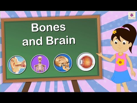 The Skeletal System, Bones and Brain | Science For Kids | Grade 5 | Periwinkle
