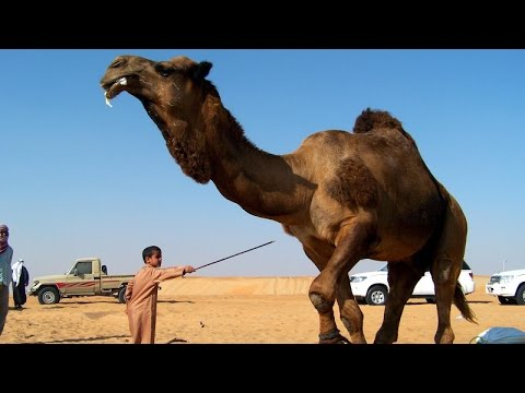 The 3 Amazing Camels