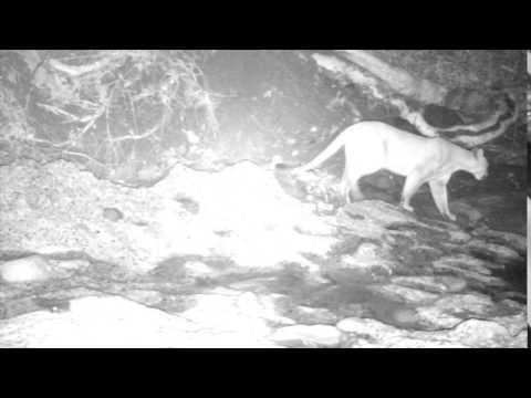 Mountain Lion in Trabuco Canyon