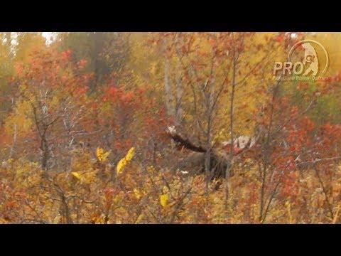 Moose rutting Kamchatka
