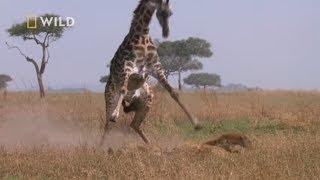 Żyrafa z determinacją broniła swojego dziecka! [Najgroźniejsze zwierzęta Afryki]