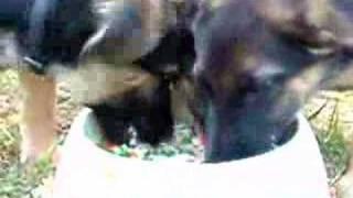 German Shepherd Pups Fight Over Food