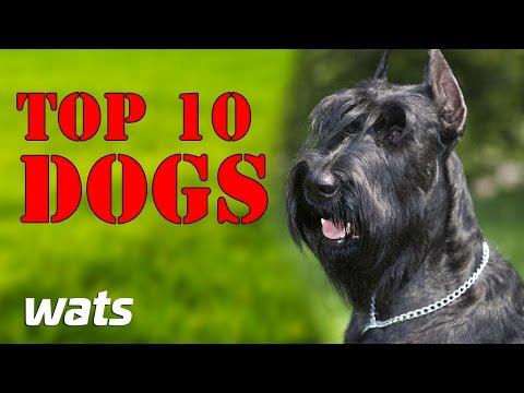 TOP 10 BEST GUARD DOGS || Best Of Ten