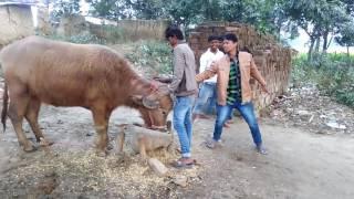 Bhojpuri funny video and masti  by T ahmad 2017