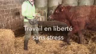 Entraînement aux soins avec une vache