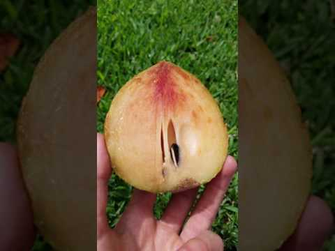 Sapodilla Níspero Chiko Sapote Organic Miami Fruit