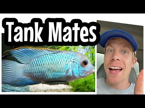 Electric Blue Acara Tank Mates - Cichlid Community