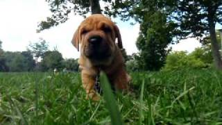 Lola The Shar-pei Basset Mix-playing In The Park