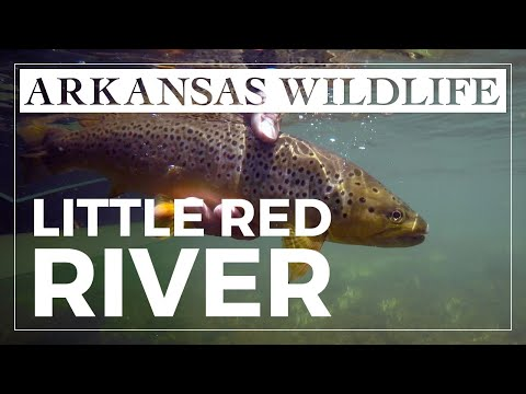 Fly Fishing For Trout On The Little Red River