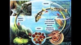 Особенности размножения рыб. Биология 7 класс