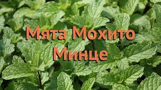 Мята обыкновенная Мохито Минце (mokhito-mintse) 🌿 обзор: как сажать, саженцы мяты Мохито Минце