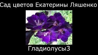 #Гладиолусы голубые и фиолетовые Сад цветов Екатерины Ляшенко