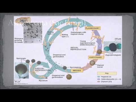 Biology 11 - 4 Phyla of Fungi