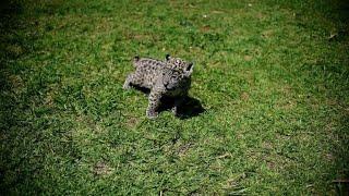 Newborn jaguar cubs draw fans at Mexico wildlife park