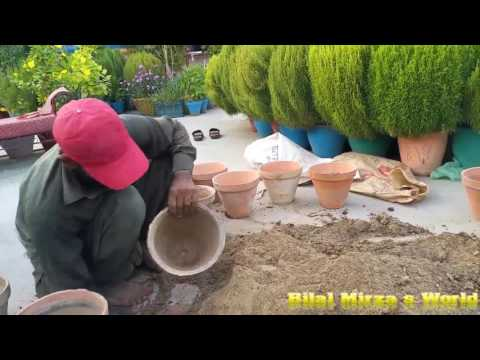 30 - How To Repot  Mari Gold Flower Plants October 2016 (URDU/HINDI)