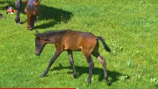 Handsome stallion in the midst of Kabila lost himself and is resting 1 temporarily