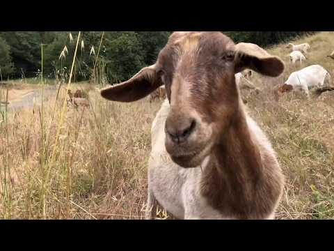 Goats Return to Gobble Up Grass, Reduce Wildfire Risk at Berkeley Lab
