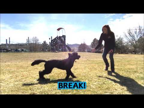 10 Month Old Labradoodle Puppy Obedience Training; Best Dog Trainer Reno, Nv