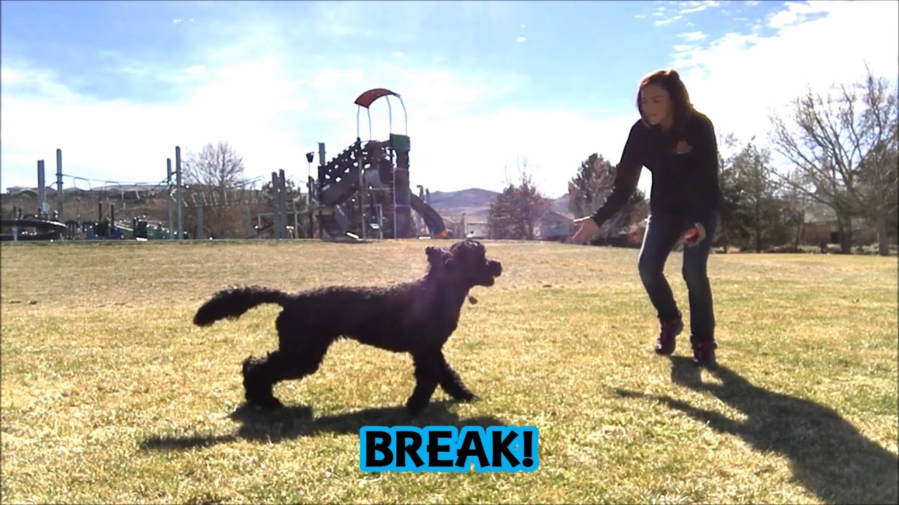 10 Month Old Labradoodle Puppy Obedience Training