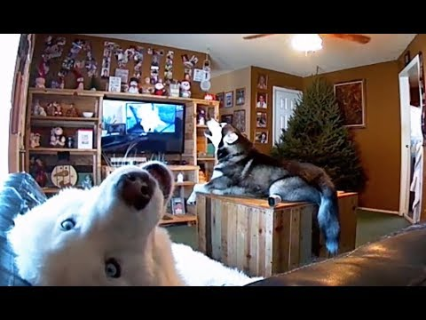 Husky Dogs Singing With Husky Dog!